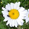 Flower Weevil (Baridinae) and Minute Seed Weevil (Ceutorhynchinae) on Oxeye Daisy (Leucanthemum vulgare) - Guelph, Ontario 2020-06-19.jpg