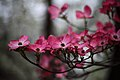 Flowers-pink-bokeh - West Virginia - ForestWander.jpg
