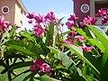 Flowers of Cuba 07.JPG