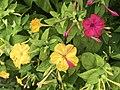 Flowers of Mirabilis jalapa 20190809-2.jpg