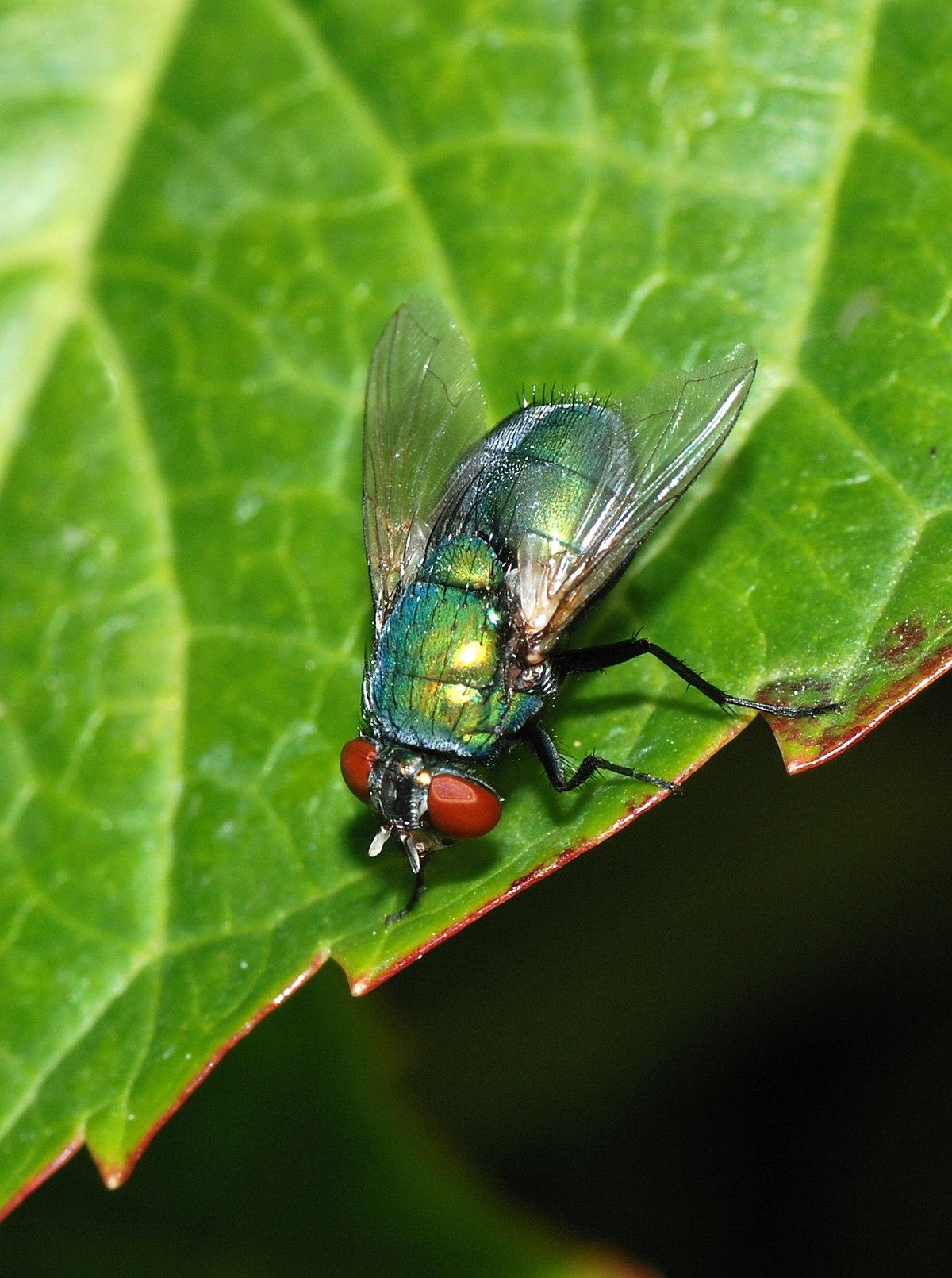 Lucilia sericata wikip dia - Comment se debarrasser de mouches ...