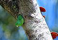 Forpus xanthopterygius -tree hole -Brazil-8.jpg