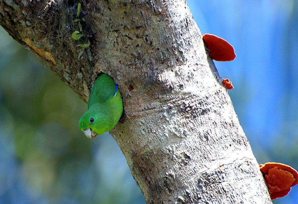 Forpus xanthopterygius -tree hole -Brazil-8