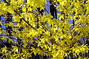 Forsythia close-up