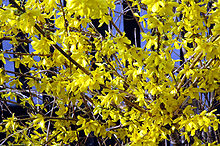 Forsythia close-up.jpg