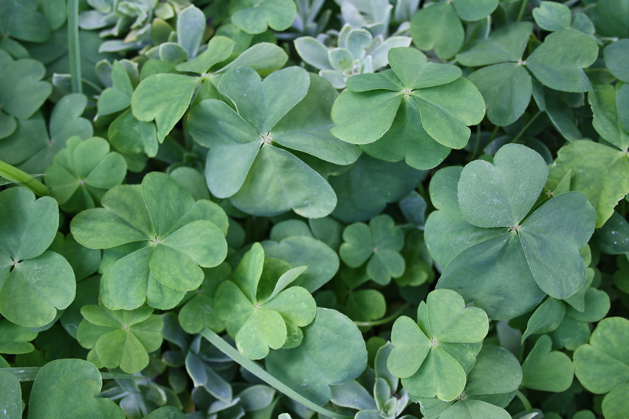 file four leaf and five leaf clovers 2 jpg wikimedia commons