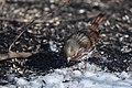 Fox Sparrow (24611367955).jpg