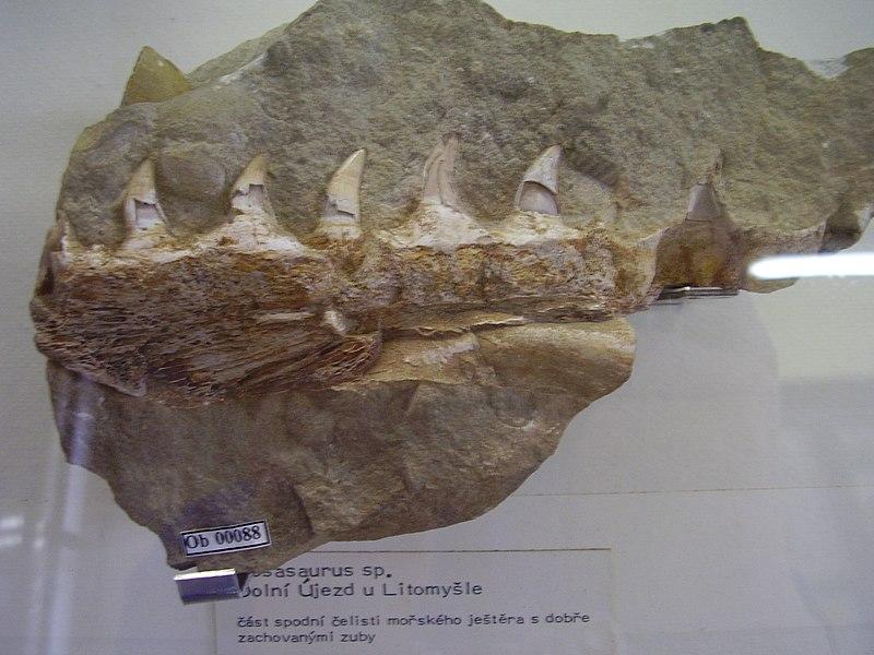 File:Fragment čelisti mosasaura z Dolního Újezda u Litomyšle.jpg