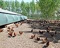 Free Range Poultry, near Claverley, Shropshire - geograph.org.uk - 421751.jpg