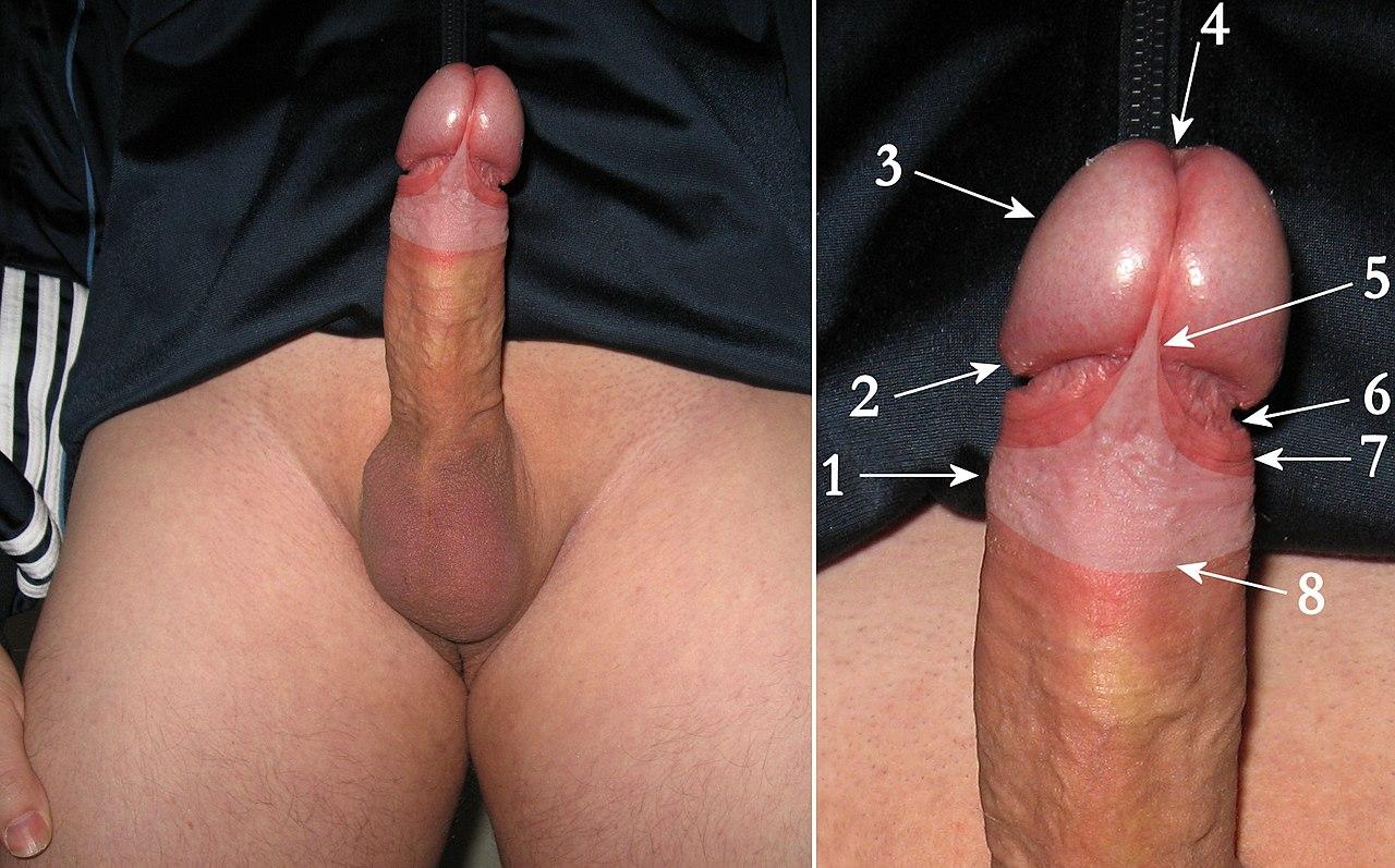 glans penis corona rim jpg 853x1280