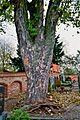 Friedhof Poettmes Acer pseudoplatanus 02.jpg