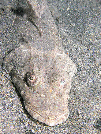 Platycephalidae - Sunagocia otaitensis