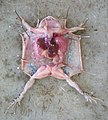 Frog vivisection.jpg