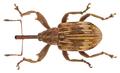 Furcipus rectirostris (Linné, 1758) (19715844521).png