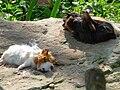 Futtertier Hausmeerschweinchen.JPG