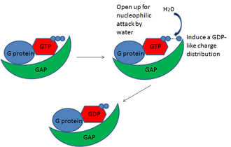 GTPase-activating protein - GAP works to open the G protein for nucleophilic attack by water and induce a GDP-like charge distribution.