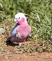 Galah eating (8985002070).jpg