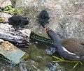 Gallinula chloropus -moorhen feeds chicks.jpg