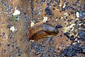 Garden Slug. Arion group (33735459500).jpg
