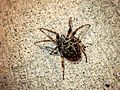 Garden Spider.jpeg