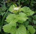 Garlic Mustard - Alliaria petiolata - geograph.org.uk - 160932.jpg
