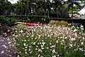 Gaura lindheimeri (Butterfly Bush), Roma Street Parkland..JPG