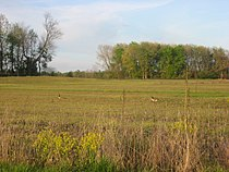 Geese in a field at Muscatatuck NWR.jpg