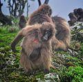 Gelada Baboons, Ethiopia (8198879009).jpg