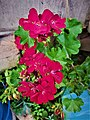 Geranium Flower 153542.jpg