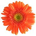 Gerbera white background.jpg