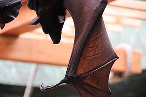 Columbus Zoo and Aquarium - A giant fruit bat at the Columbus Zoo and Aquarium