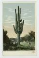 Giant Cactus, Phoenix, Ariz (NYPL b12647398-1269503).tiff