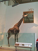 Giraffe, Exhibit at National Museum of Natural History, Washington, D.C