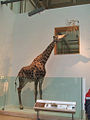 Giraffe, Exhibit at National Museum of Natural History, Washington, D.C.jpg