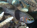Girdled cardinalfish (Archamia zosterophora) (47503463962).jpg