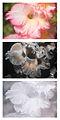 Gladiolus × hortulanus 'Priscilla' Vis UV IR comparison.jpg