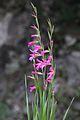 Gladiolus micranthus (İnce Kılıçotu)1.jpg