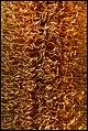Glasshouse Banksia Flower-6 (18102721090).jpg