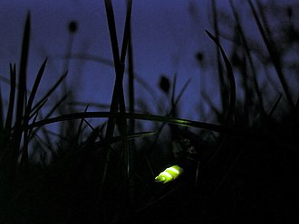 Will-o'-the-wisp - Glowing firefly (Lampyris noctiluca)