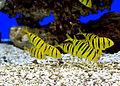 Gnathanodon speciosus Prague 2011 1.jpg
