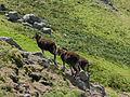 Goats on Lundy (3).jpg