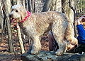 Goldendoodle Bailey portrait.jpg