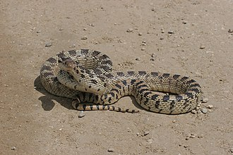 Pituophis catenifer - Great Basin subspecies, coiled