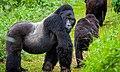 Gorillas of Volcanoes National park.jpg