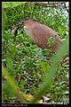 Gorsachius melanolophus (5623709579).jpg