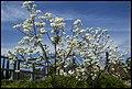 Grafton White Jacaranda-04 (22692743725).jpg