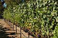 Grapes (1068115303).jpg