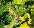 Grapes in Chateaux Luna vineyard 3.jpg