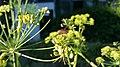 Graphosoma lineatum Ulia2019 02.jpg