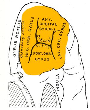 Orbital gyri - Orbital surface of left frontal lobe. Orbital gyri shown in orange.